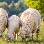 Unsere Schafherde ist zurück!