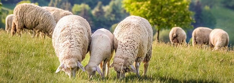 Schafe im Frühling bei Engenhahn im Taunus