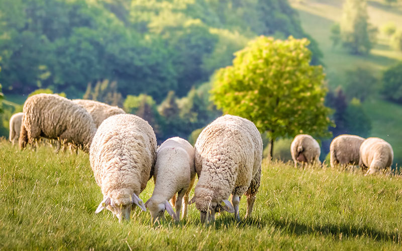 Schafherde im Frühling
